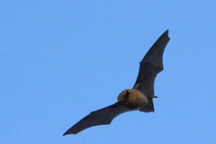 Day-flying Bat. (E P Rogers) Tags: