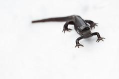 Salamander on Snow-1766 (Geoffrey Shuen Photography) Tags: stanleypark salamander snow