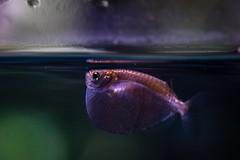At the S.E.A Aquarium, Singapore. (_paVan_) Tags: macrophotography macro singapore seaaquarium aquarium fishtank fishes fish