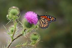 (*LiliAnn*) Tags: summer flowers butterflies mygarden