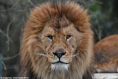 African lion - Olmense Zoo (Mandenno photography) Tags: animal animals dierenpark dierentuin lion lions leeuw leeuwen nature natgeo natgeographic zoo olmense olmensezoo olmen bigcat big cat belgie belgium balen dieren