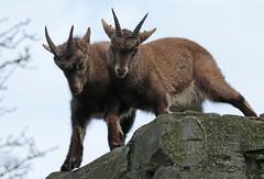 alpine ibex Artis 094A0692 (j.a.kok) Tags: animal artis alpensteenbok alpineibex europe europa steenbok ibex mammal zoogdier dier