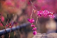 D68_4003 (brook1979) Tags: 台灣 台中 泰安 警察局 櫻花 春天 花季 粉 紫 taiwan taichung flower sakura 八重櫻