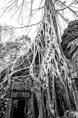 Assimilation (Cédric Nitseg) Tags: nikon asie siemreap greelow travelling backpacking backpacker tree travel asia noiretblanc cambodge arbre voyage d7000 blackandwhite temple cambodia