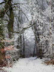 Go into the forest! (juliendumont2) Tags: tree forest woods woodland snow winter weather outdoors nature mothernature fineart path landscape inexplore greenscene amomentintime belgium noperson sun