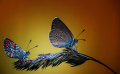 A NICE DAY (♥ ⊱ ╮Juergen╭ off for some times! ♥) Tags: wildlife twins butterflies
