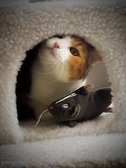Misu (huoneenhaltijakissa) Tags: animal pet cat cats domesticcats misu cattree nest toyrat fun home kokkola finland nature funny