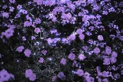 (emmakatka) Tags: flower purple emmakatka spring flowers surreal pretty dreamy