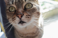 Loulou garoup (Noemie.C Photo) Tags: chat cat gato animal compagnie maison home cute mignon look regard