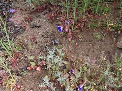 Parry's Phacelia (Boraginaceae, Phacelia parryi) (aking1) Tags: blue boraginaceae parrysphacelia phaceliaparryi pinevalley california unitedstatesofamerica us kitchencreekfalls