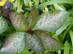 Hellebore Leaf (Marit Buelens) Tags: plant leaf leaves green purple groen vert paars rood hellebore helleborus