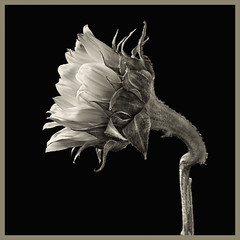 Sunflowers #15 2019; Bent Stem (hamsiksa) Tags: stilllife stilllifes botanicals florals studio studioshot studiolighting plants flora flowers blooms blossoms sunflowers tournesol asteraceae helianthus blackwhite