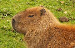Capybara (Hydrochoerus hydrochaeris) portrait (shadowshador) Tags: capybara hydrochoerus hydrochaeris portrait neomura eukaryota opisthokonta holozoa filozoa animalia eumetazoa bilateria deuterostomia chordata vertebrata gnathostomata tetrapoda tetrapod tetrapods amniota mammalia eutheria placentalia boreoeutheria euarchontoglires rodentia hystricomorpha caviidae hydrochoerinae taxonomy scientific classification biology mammalogy wildlife life