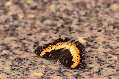 FARFALLA    ----    BUTTERFLY (Ezio Donati is ) Tags: animali animalls farfalle butterfly natura nature colori colors westafrica costadavorio abidlan