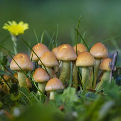 Mushroom family 🌼🍄🍁 (Martin Bärtges) Tags: grün green gras grass yellow gelb blüten blume flower autumncolors autumn herbstfarben herbst outside outdoor drausen makrofotografie makro macro macrophotography nikonphotography nikonfotografie d7000 nikon farbenfroh colorful pilze mushroom