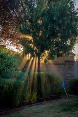 something in the leaves (Robert Borden) Tags: tree light sunlight rays fog mist streaks green suburbia suburban santaclarita california socal southerncalifornia losangeles la fujifilm fuji fujifilmxt2 50mm 50mmlens prime somethingintheleaves