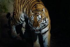 Tg Nbg                Spotlight                 181228 (Eddy L.) Tags: tiergartennürnberg tiergartenfreundenürnbergev nuremberg tiger samur ☆2662012 amurtiger sibirischertiger pantheratigrisaltaica tigresiberiana siberiantiger amurskiytigr tigredesibérie siberiantijger tigresiberiano bigcat predator carnivora minoltaafhs28300mmg sonyalpha teamsony sonyphotographing wildcatworld eddyl2018