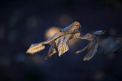 erstes Licht (geraldtourniaire) Tags: eos6d ef ef1285lusm natur nature bokeh blatt licht l