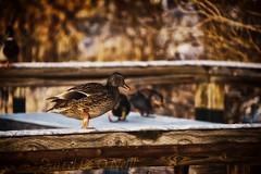Mallard on a Rail 7 (LongInt57) Tags: mallard duck bird waterfowl boardwalk railing snow winter white brown orange nature wildlife kelowna bc canada okanagan