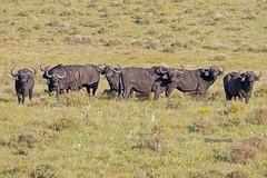 AFRIBUFF 0614 (bryanjsmith62) Tags: africansavannabuffalo synceruscaffer buffaloandantelopes bividae mammalsofsouthafrica ©bryanjsmith