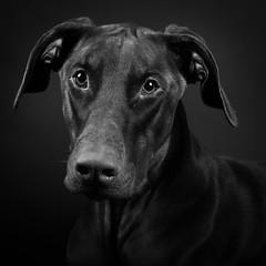Bronson (ToriAndrewsPhotography) Tags: doberman pet portrait animal tori andrews photography mono black white head shot