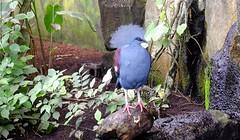 Goura couronné (claude 22) Tags: zoo beauval france animal oiseau bird couleur color gouracouronné gouracristata zoodebeauval staignansurcher