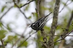 D8B_2144 (violetflm) Tags: grove warbler blackandwhitewarbler native il