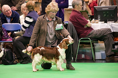 Diary_2016_045 (evinrisca) Tags: crufts welsh springer spaniel dogshow wsscsw