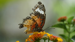 2019-02-11_12-50-56_ILCE-6500_DSC02851 (Miguel Discart (Photos Vrac)) Tags: 169mm 2019 animal animalphotography animals animalsupclose animaux butterfly chiangmai e18135mmf3556oss fleurs flowers focallength169mm focallengthin35mmformat169mm holiday ilce6500 iso200 nature naturephotography papillon pet sony sonyilce6500 sonyilce6500e18135mmf3556oss thailand thailande travel vacances voyage