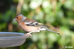 Chaffinch (Jen Buckle) Tags: strumpshawfen norfolk rspb jenbuckle wwwflickrcompeoplejenbuckle bird birds nature wildlife gardenbird gardenbirds
