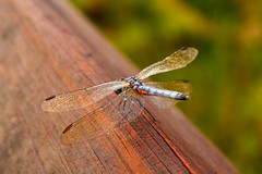 Dragonfly (Loopodude) Tags: dragonfly bug insect wings life nature growth organic outdoors cooterpondpark inverness florida canont2i canonef50mmf14usm
