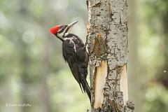 Pileated Woodpecker 501_1927.jpg (Mobile Lynn) Tags: nature birds pileatedwoodpecker woodpecker bird dryocopuspileatus fauna wildlife massive alberta canada ca