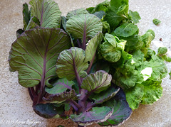 February 26th, 2019 Brassica leaves and brusssels sprouts (karenblakeman) Tags: cavershamgarden caversham uk vegetables brassicas cabbage brusselssprouts food 2019 2019pad february reading berkshire