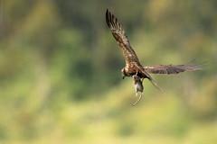 CIRCUS AEROGINOSUS (Gilberto Viana) Tags: rapinas aguias ria de aveiro rio boco vagos natureza aves passaros birds