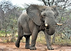 Stand off. (pstone646) Tags: elephant wildlife africa nature pachiderm safari mammal closeup encounter southafrica fauna feeding animal bigfive