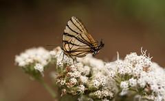 DSC_5556 (DigiPhotus) Tags: digiphotus borboleta insect insetos insectos inseto insekt insecte insetto insekten insekte insekter insectes insecten insektet insetti izimbali papillon buterfly macro macrodreams