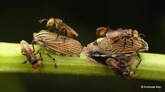 Stingless Oxytrigona bees tending Aetalion reticulatum treehoppers with eggs (Ecuador Megadiverso) Tags: aetalionreticulatum aetalionidae amazon andreaskay bee ecuador egg hemiptera honeydew hymenoptera membracidae oxytrigonasp rainforest stinglessbee treehopper tropic