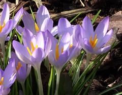 DSC00043 Crocus (PeaTJay) Tags: sonydschx90 zeiss england uk gb royalberkshire reading lowerearley berkshire macro micro closeups gardens outdoors nature flora fauna plants flowers crocus