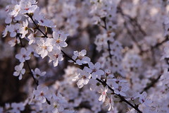 Spring Blossom (Paul Bagshaw) Tags: 60d eos canon nature tree flowers white spring blossom blackthorn