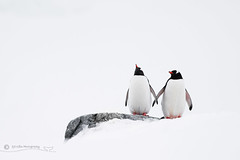 Holding Hands (cjdolfin) Tags: penguin gentoo snow antarctica antarcticpeninsula holding hands love couple