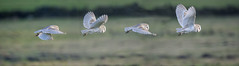 barn owl flight merged (alderson.yvonne) Tags: barn owl barnowl wild evening winter hunting yvonne yvonnealderson