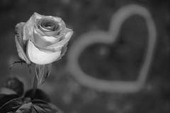 still-life 19-02-2019 002 (swissnature3) Tags: stilllife macro flowers light rose