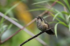Speckled Hummingbird, Fundo Alto Nieva, Peru October 2018 (Sterna999) Tags: speckledhummingbird adelomyiamelanogenys schwarzohrkolibri plettetkolibri colibríjaspeado fundoaltonieva peru birdsofperu peruvianbirds nature wildlife bird