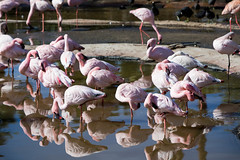 Flamingos: San Diego (Photos By Clark) Tags: california canon70200f28isl cities sandiegozoowap location canon5div northamerica sandiego unitedstates locale places where birds flamingos captive wap reflection lightroom water pink thesandiegoist boxingday