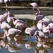 Flamingos: San Diego