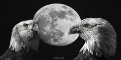 Moonlight (Klaus Kehrls) Tags: collagen natur vögel adler greigvögel seeadler mond colorkey
