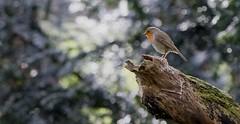 Robin (Shannon Wilde 9322) Tags: robin wildlife wildlifephotography birdwatch birdlife animal animalphotograohy nature naturephotography canon sigma