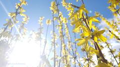 lightheaded (photos4dreams) Tags: forsythie photos4dreams p4d photos4dreamz