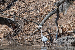 ashleyreservoir2019-2 (gtxjimmy) Tags: nikond7500 nikon d7500 tamron 150600mm newengland holyoke massachusetts watersupply reservoir heron bird greatblueheron
