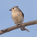 Tufted Titnouse (MLK6615) Tags: tuftedtitmouse